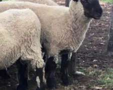15 Ovejas Preñadas Melliceras Hampshire Down