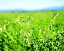 Semilla de Alfalfa Fiscalizada Inta Monarca
