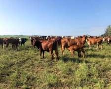 108 Vacas y Vaquillonas Preñadas y Paridas