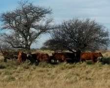 Vacas En Capitalización La Pampa
