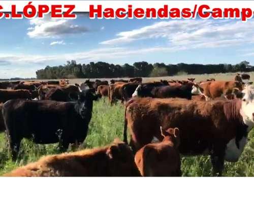 Vacas Con Campo .