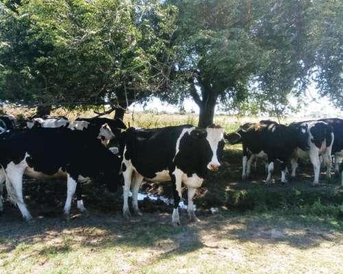 Vendemos 10 Vaquillonas de Tambo a Parir Abril y Mayo .-