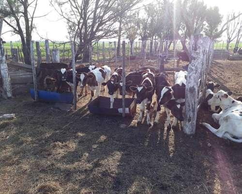 Busco Vacas En Produccion