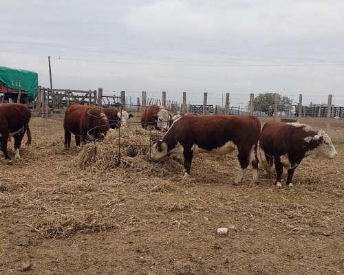 Toros Hereford Puros Entre 3 y 4 Años de Edad