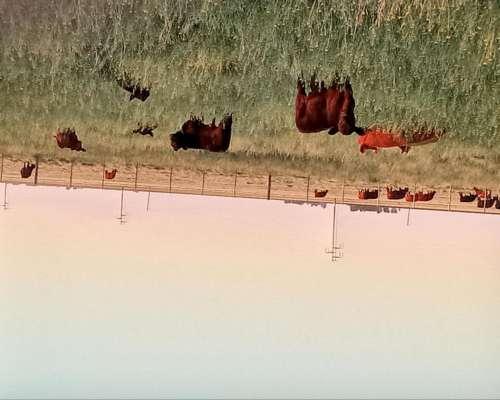 Vendo 18 Vacas Usadas con 19 Terneros al PIE