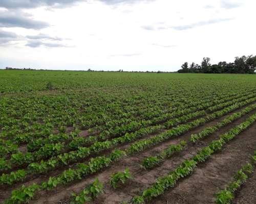 Irigoyen / San Fabián 65 Has Agrícolas. Campo en Venta