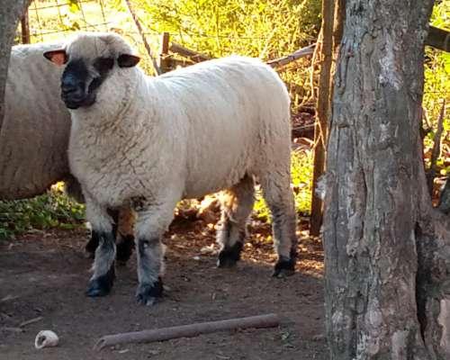 Carnero Hampshire Down de Cabaña el Amargo
