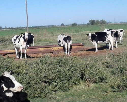 Vendo Vaquillonas Holando Argentino