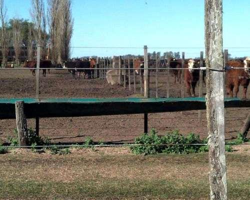 Comederos para Hacienda Feedlot Novillos 1.30 Mts X 25 Mts.