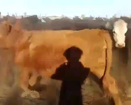 110 Vacas Preñadas AA y Caretas