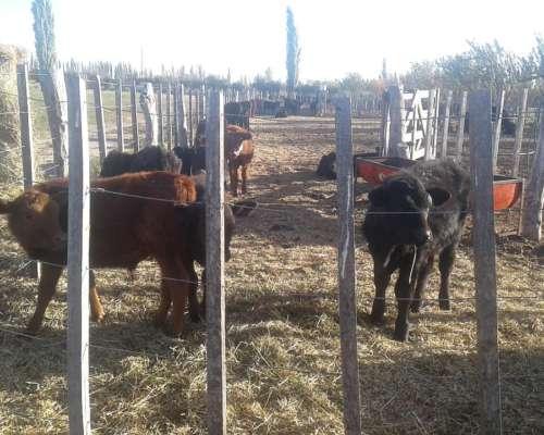 Vendo Vacas y Terneros. Directo Productor sin Comisión