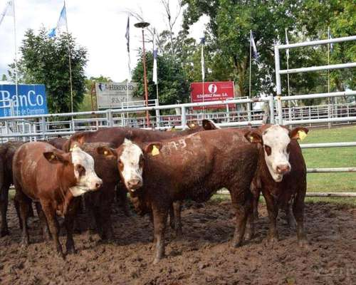 Se Buscan 20 Vaquillonas Hereford