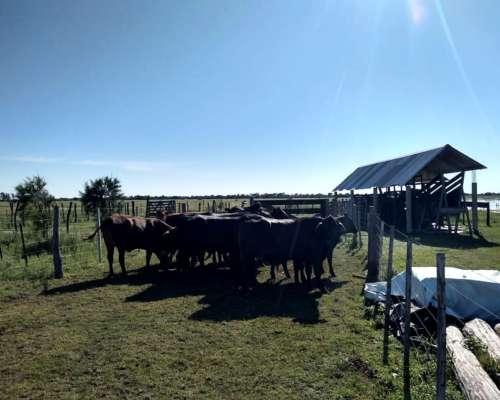 Vendo 40 Vaquillas Y 20 Vacas Preñadas