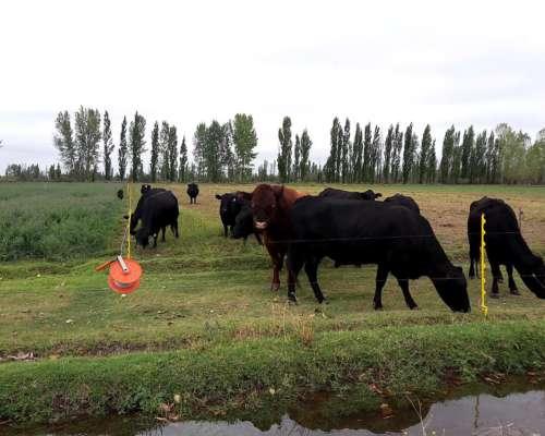 Vacas con Buena CC + UN Toro