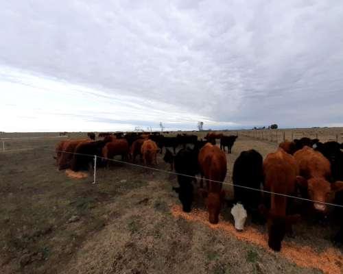 Tomo 300 Vacas a Pastaje Gral la Madrid