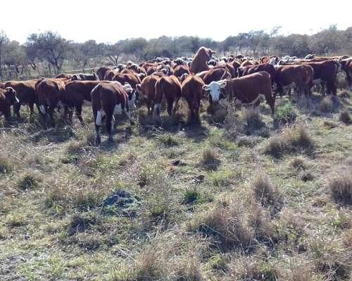 Compramos Vacas Invernadas Y Terneros