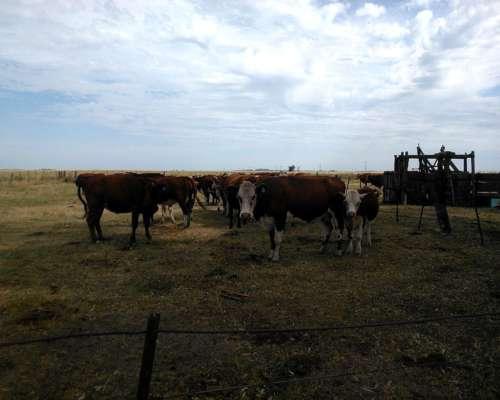 Vendo 20 Vacas De Cría En Vicuña Mackenna