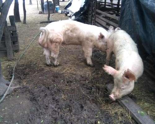 Cerdos de Primeras Lineas