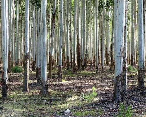 Forestacion en Venta 1200 Has Concordia Entre Rios