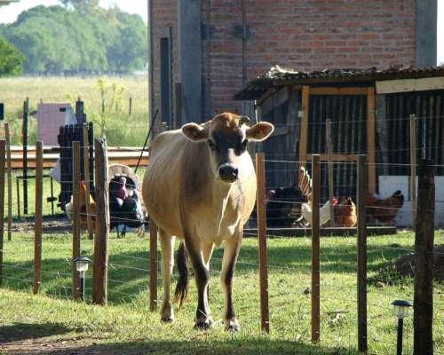 Vendo Lote 4 Vacas Jersey (1 con Cria al Pie) y 1 Vaquillona