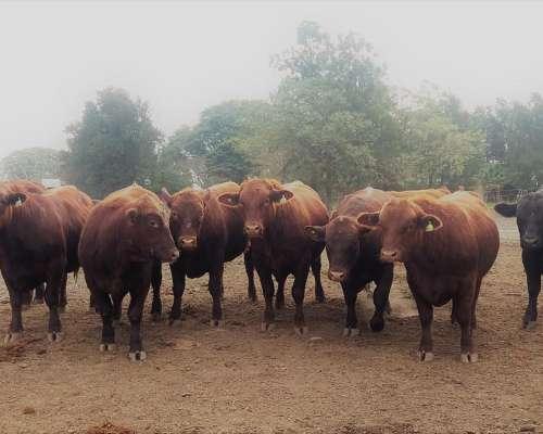Vendo Toros Angus Colorados