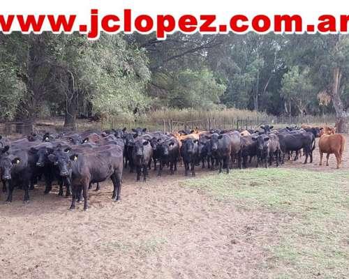 Vaq Preñadas Angus Negras y Coloradas