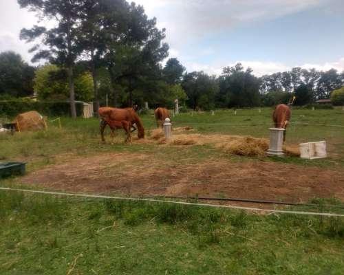 Yegua SPC 5 Años Domada y Servida