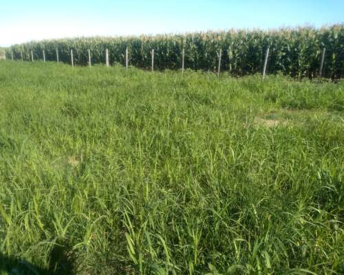 300 Has Alejandro Roca Huanchillas DS 4.500/ha