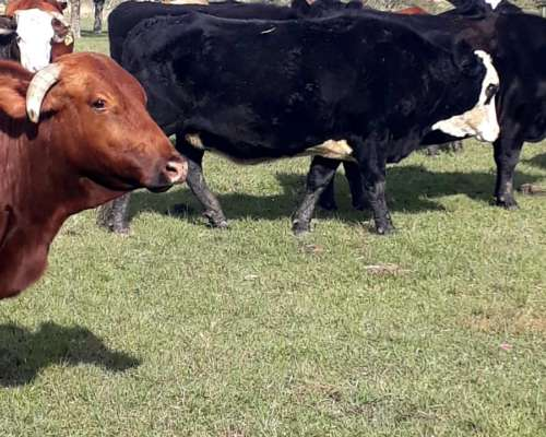 Vacas Preñadas y con Cría al PIE Entré Ríos