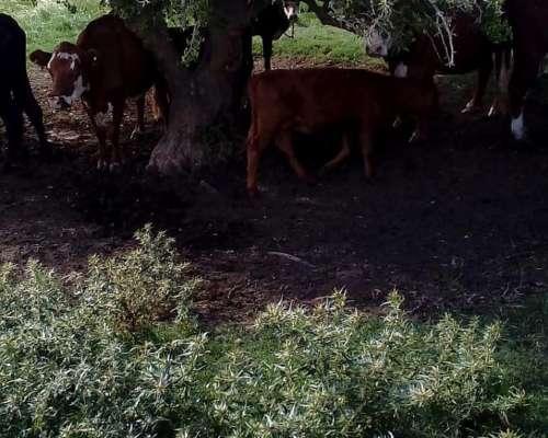 Vendo 45 Vacas Con Ternero Al Pie Y 30 Preñadas
