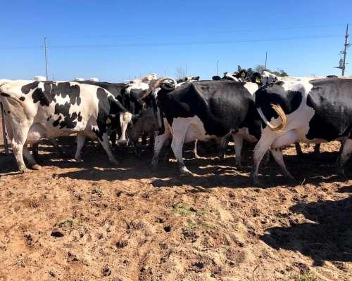 124 Vacas Secas Holando Argentino