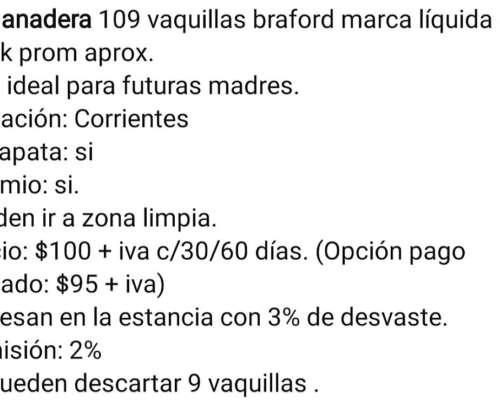 100 Vaquillas Braford de 200 K