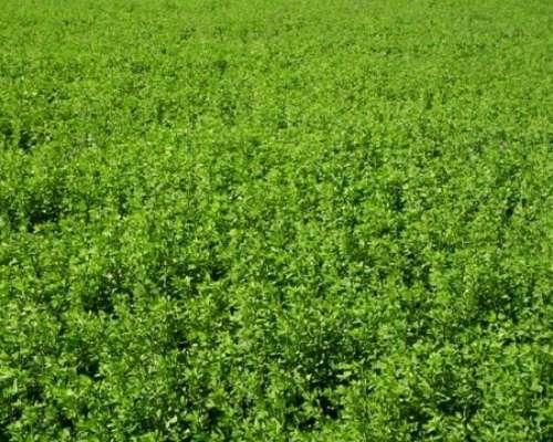 Vendo Semilla de Alfalfa Grupo 6 y 8 Ventilada