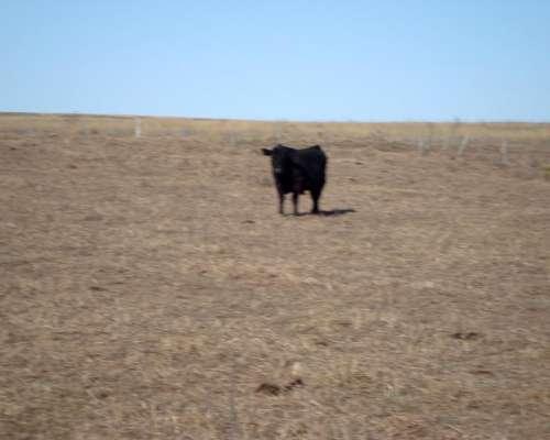 Tomo a Capitalizacion o Pastaje Vacas de Cria