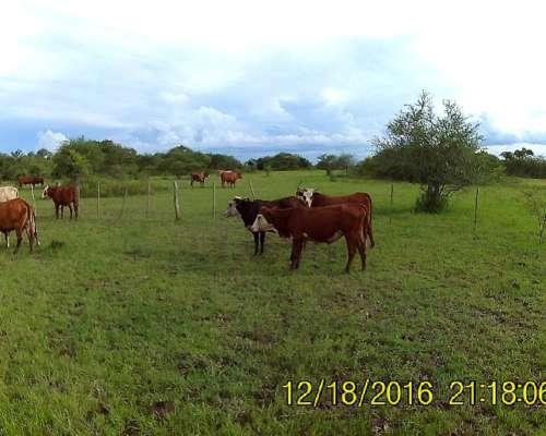 25 Varias Categorías Vacas