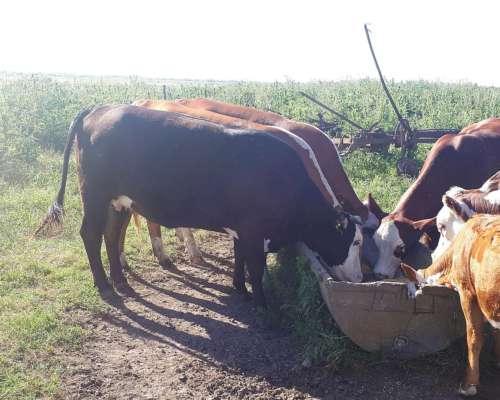 Vendo 3 Vacas Y Un Toro