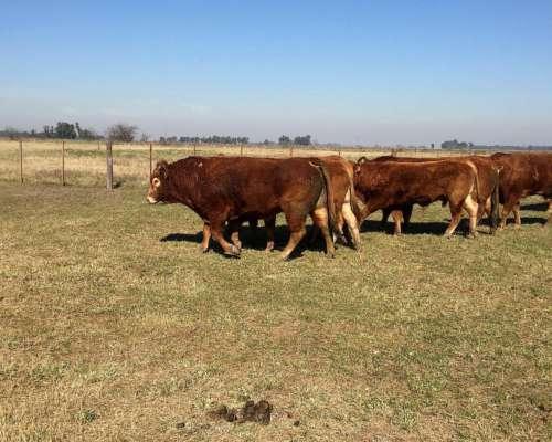 Venta de Toros Limousin