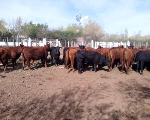 Vaquillonas Aberdeen Angus Colorado Y Negro