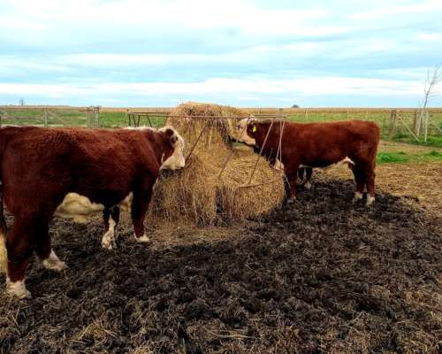 Toros Hereford Puro de Pedrigue