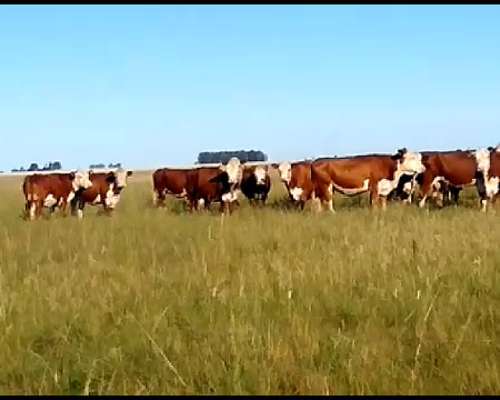 70 Vacas Medio Diente Libre de Viejas
