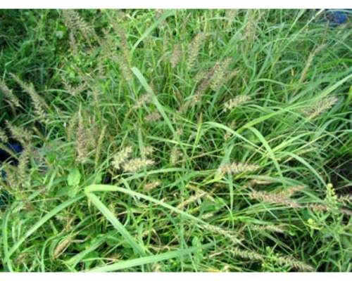 Buffel Grass Texas X 5 Kg