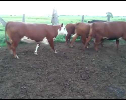 22 Vacas Gordas Para Faena