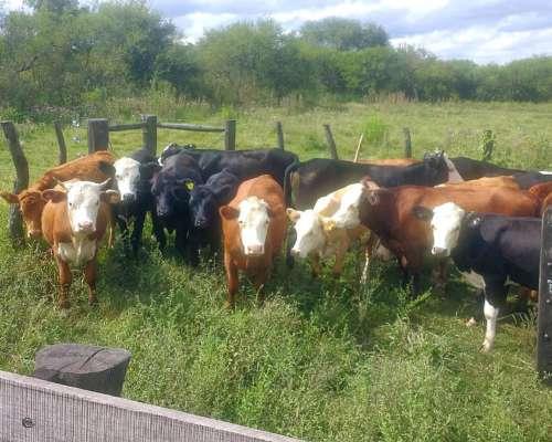 Vendo 25 Terneros Machos Angus/hereford, 240 Kg