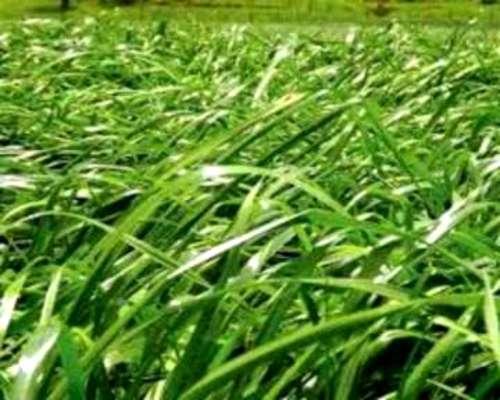 Compramos Rey Grass Tetraploide En Zonas Productivas