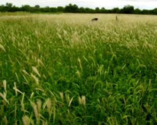 Candelaria, Abundante Pasto. Tomo Animales A Pastoreo