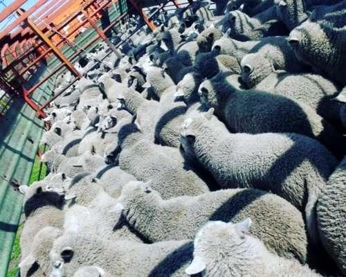 Porcinos y Lanares Compra y Venta