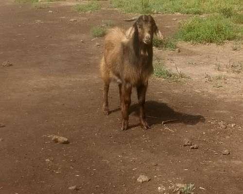Cabras, Chivos y Cabritos.
