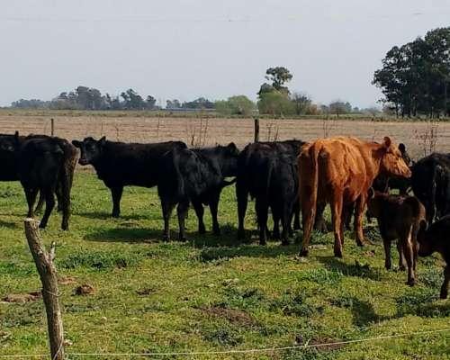 Vacas Consumo Conserva Toros e Invernada