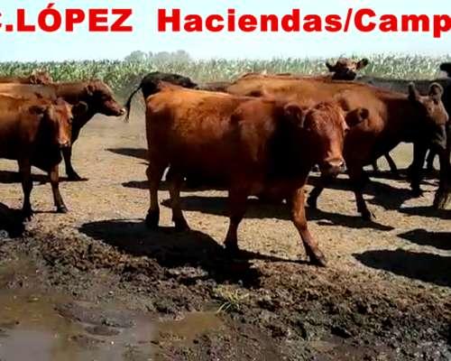 Vacas Preñadas Angus Nuevas