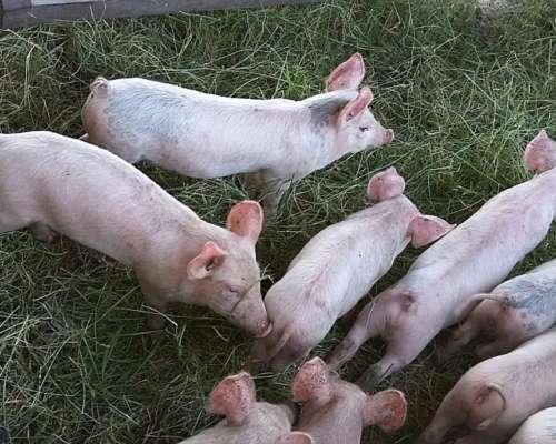 Estructura para Armar Túnel de Cama Profunda para Cerdos